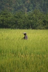 Hard at work in rice fields