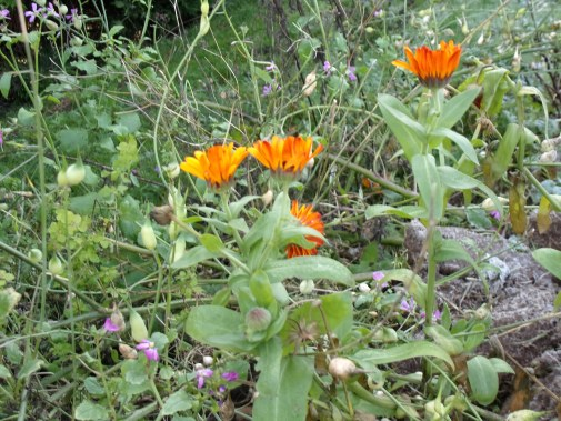 calendula and radish are still flowering