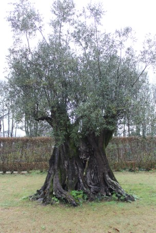 Olive tree 1500 years