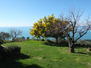 Mimosa tree in Private garden along the coast