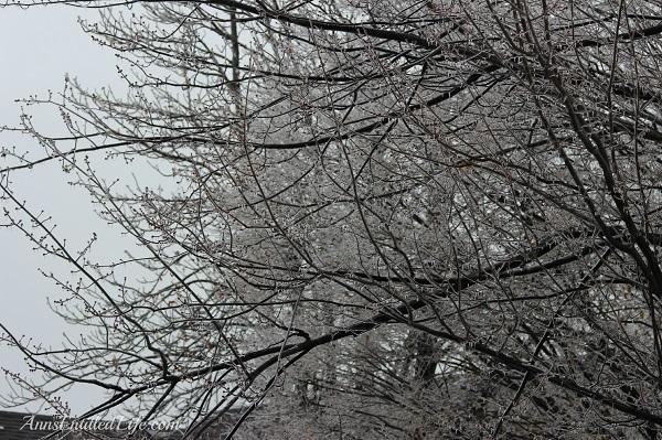 Frozen rain on large trees, western New York, December 2013, 13