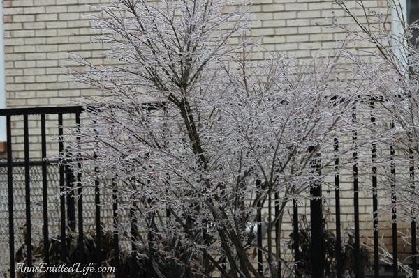 Frozen rain on burning bush, western New York, December 2013, 11