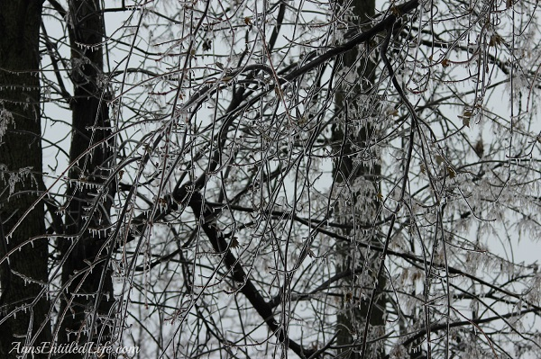Frozen rain on large trees, western New York, December 2013, 14