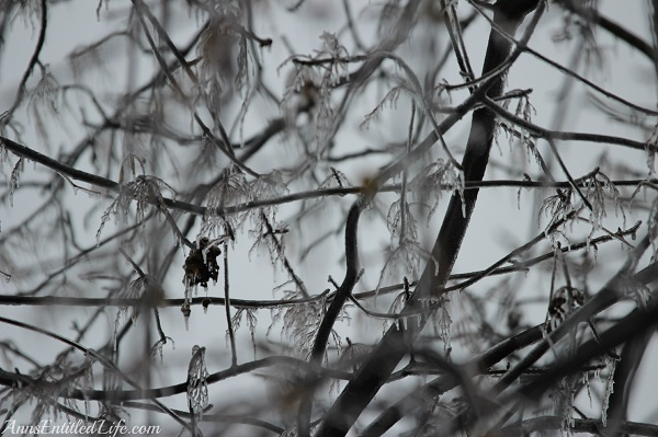 Frozen rain on large trees, western New York, December 2013, 15