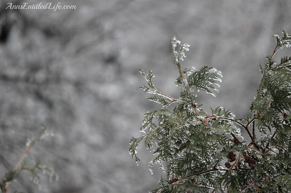 Frozen rain on arborvitae, western New York, December 2013, 10