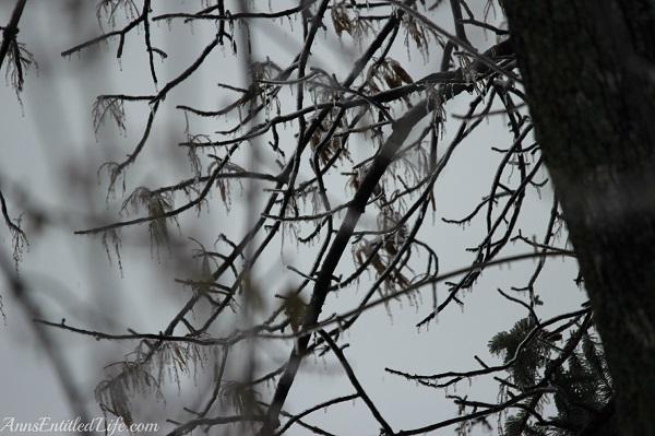Frozen rain on large trees, western New York, December 2013, 17