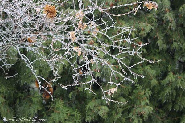 Close-up of frozen rain on small tree, 3