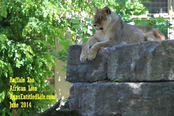 Buffalo Zoo African Lions