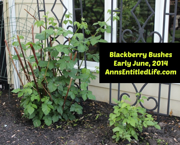 Blackberry Bushes Early June, 2014