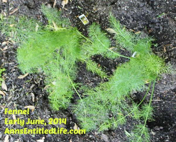 Fennel Plants Early June, 2014