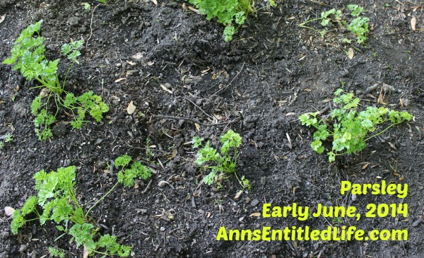 Parsley Plants Early June, 2014