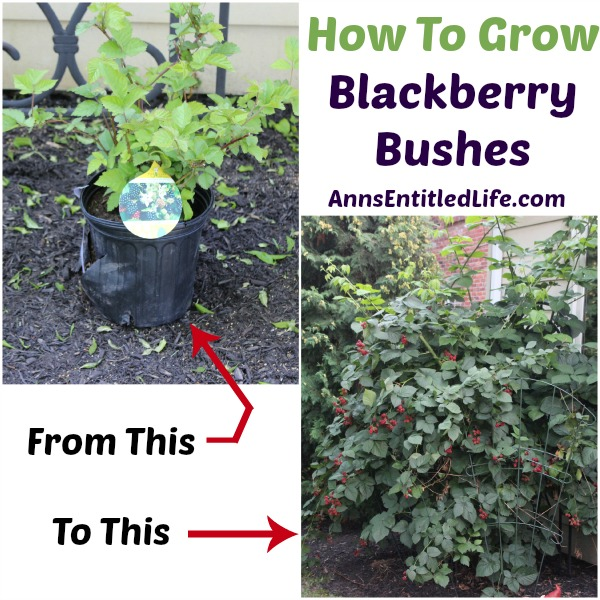 small blackberry bush, thriving large blackberry bush