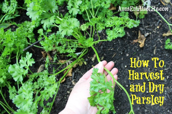 How To Harvest and Dry Parsley