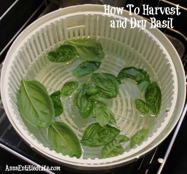 How To Harvest and Dry Basil