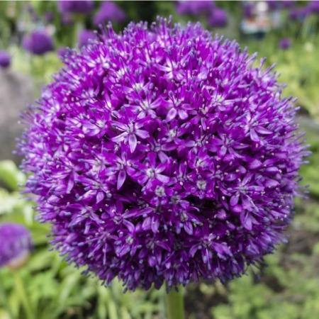 Allium.