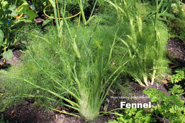 fennel growing in the ground