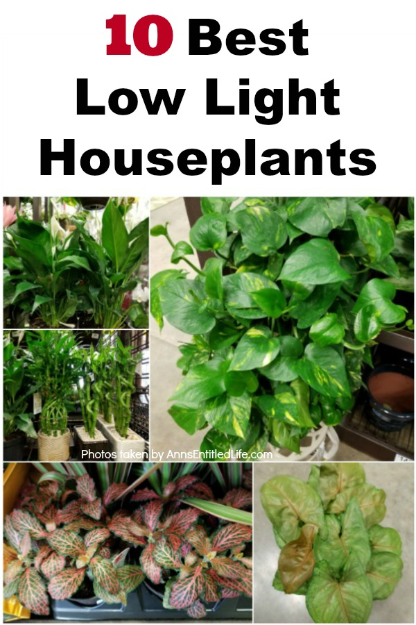 10 Best Low Light Houseplants Rainbow Fern House Plant on rainbow eucalyptus plant, rainbow hibiscus plant, rainbow rose plant, rainbow iris plant, rainbow cactus plant, rainbow bleeding heart plant, rainbow bamboo plant, rainbow fern care, rainbow orchid plant, rainbow jasmine plant, rainbow leaf plant, rainbow coleus plant, rainbow flower plant, red spiky plant, indian tobacco plant, rainbow moss, rainbow chrysanthemum plant, rainbow strawberry plant, rainbow hyacinth plant, rainbow evergreen plant,