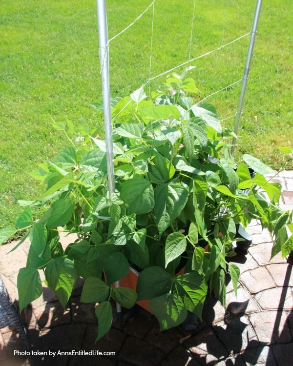 Spring Container Gardening. Experimenting with container gardening. Green beans growing in an earth box.