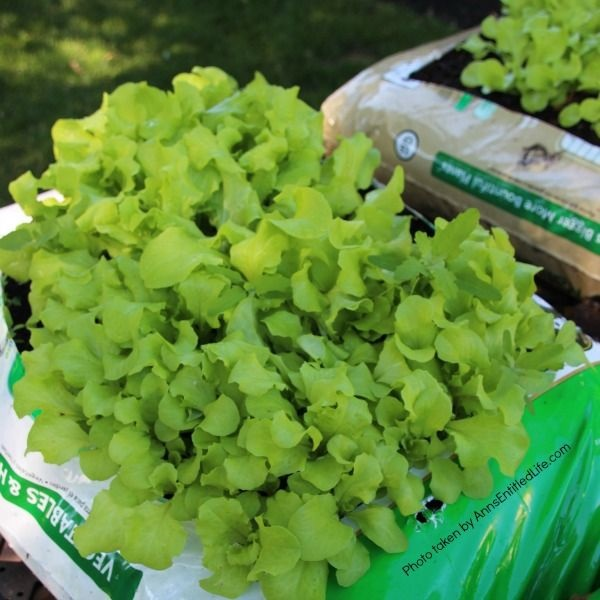 Spring Container Gardening. Experimenting with container gardening. Lettuce, spinach, mustard greens grown the same way.