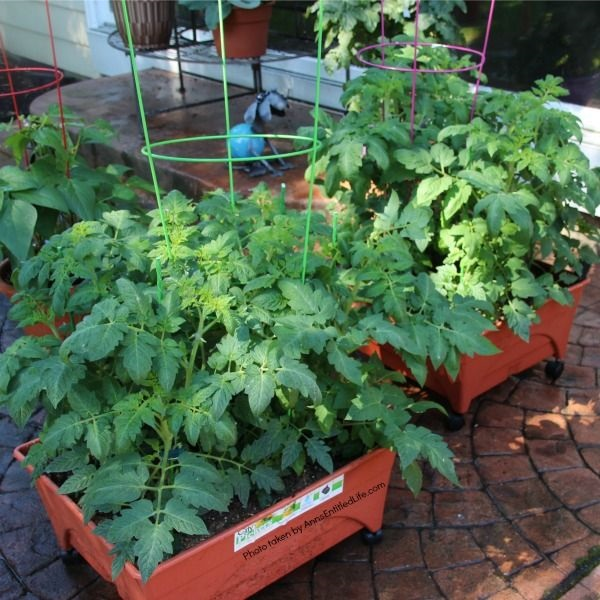 Spring Container Gardening. Experimenting with container gardening. Roma tomatoes in city pickers.