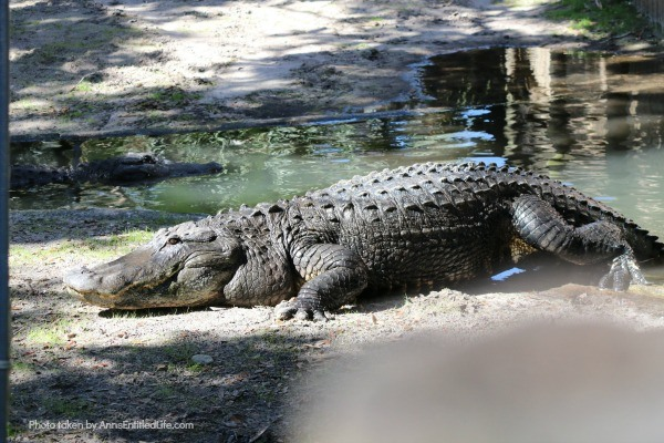 St. Augustine Alligator Farm. Hubby and I went to the St. Augustine Alligator Farm Zoological Park a few weeks ago. This is my review of the St. Augustine Alligator Farm Zoological Park, as well as photographs and tidbits of information about the zoo.
