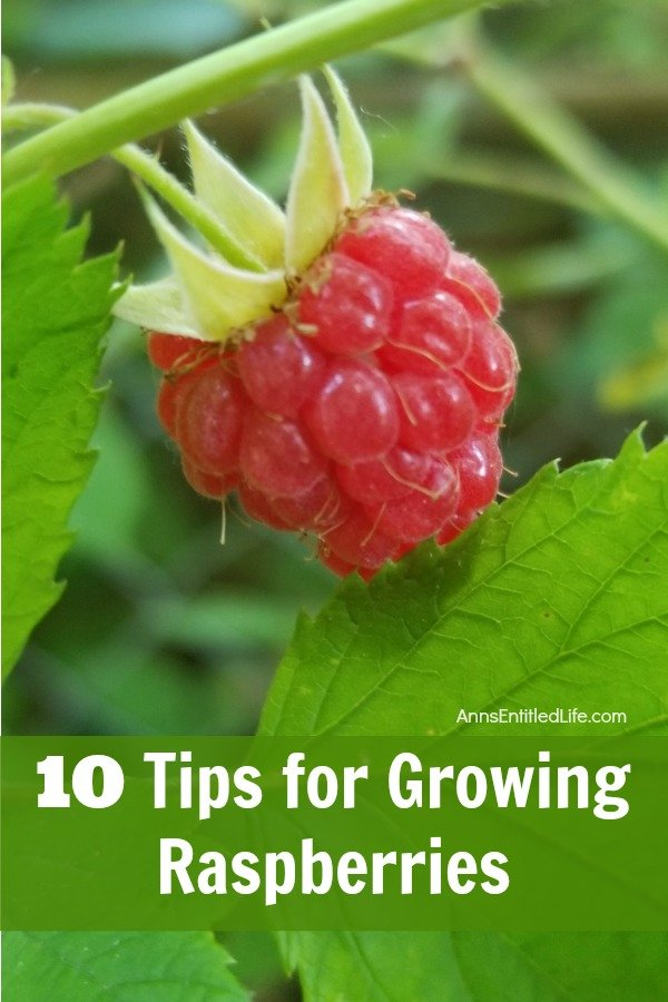 10 Tips for Growing Raspberries. Growing your own raspberries is easy, and by following a few simple tips and tricks you can enjoy a raspberry bush that comes back and performs year after year. Look below at 10 tips for growing raspberries, and see how easy it can be to enjoy these berries yourself!