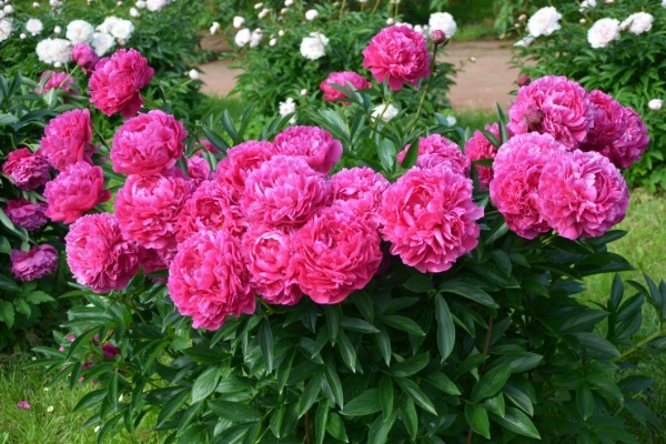 Everything You Need to Know to Grow Peonies. Peonies are a beautiful addition to any garden. They are extravagant bloomers, beautifully fragrant, and they also provide glossy and lush foliage. You can also see peonies in many garden shops and they make perfect decorations at home. Because of their beauty and longevity, these flowers symbolize a happy marriage and good fortune.