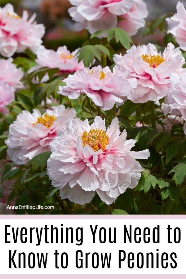 Everything You Need to Know to Grow Peonies. Peonies are a beautiful addition to any garden. They are extravagant bloomers, beautifully fragrant, and they also provide glossy and lush foliage. You can also see peonies in many garden shops, and they make perfect decorations at home. Because of their beauty and longevity, these flowers symbolize a happy marriage and good fortune.