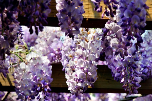 How to Grow and Care for Wisteria. Anyone who sees wisteria in a garden will quickly appreciate its beauty. The cluster of purple, pink, blue, and/or white blooms are not only attractive to look at, they also give off a sweet fragrance that perfumes the entire garden. Growing wisteria is a fairly easy task, but does require some maintenance so it does not take over your entire yard. Here's some information on how to grow and properly care for your wisteria!
