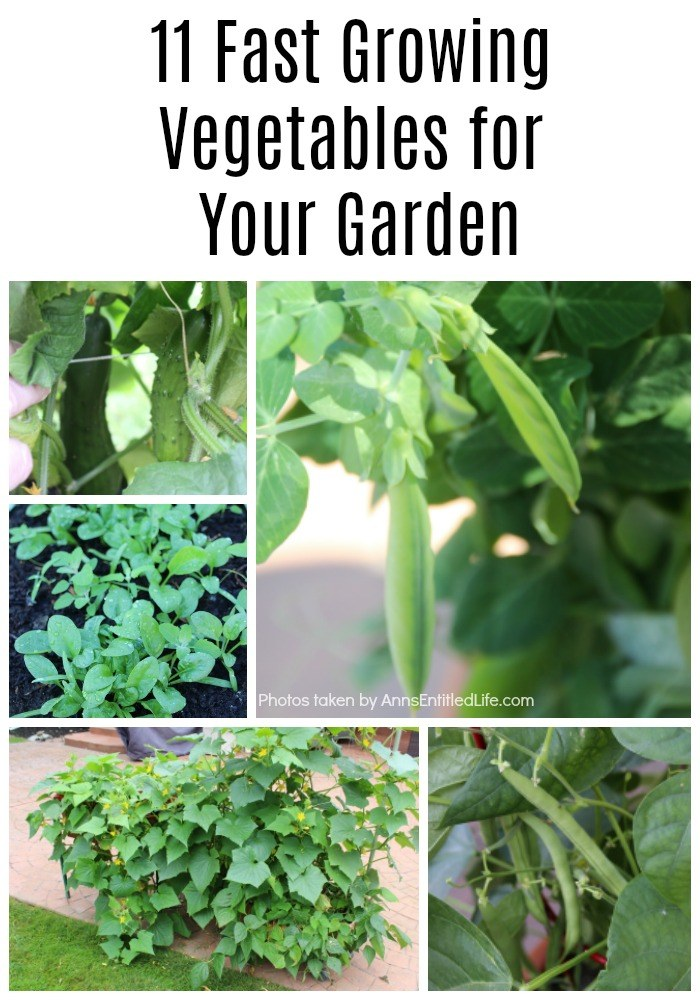 11 Fast Growing Vegetables for Your Garden. There are a lot of vegetables that take a much shorter time than you would think to grow from planting until they are ready to harvest. These quick growing vegetables can be stagnated throughout your growing season, or planted all at once for a bountiful harvest!