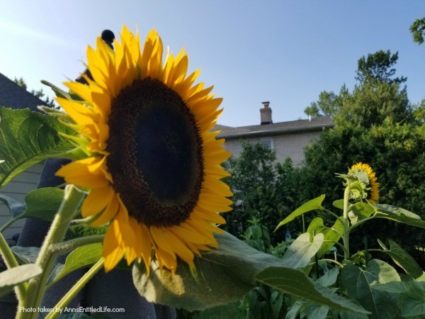 Sunflowers: 7 Creative Uses for Sunflowers. If you have an abundance of sunflowers or just seem to enjoy them, you should know there are all sorts of ways you can use them around the home. Consider these 7 creative uses for sunflowers, and see how fun these blooms can really be!