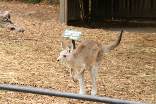 When Not to Go to Australia, by AnnsEntitledLife.com Kangaroo