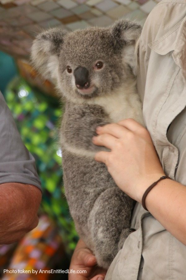 When Not to Go to Australia, by AnnsEntitledLife.com Koala Bear being held by a gamekeeper