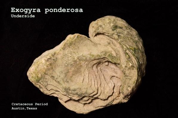 exogyra-ponderosa-underside-web