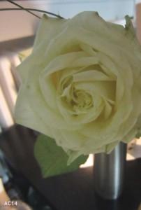 Rosengeschenk