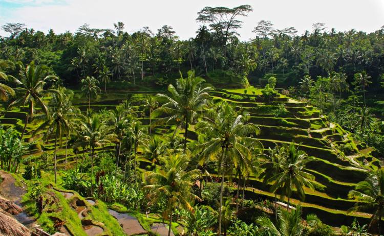 Rice terraces in Ubud, Bali, Indonesia