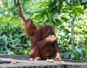Mother and Child Orangutan at Sepilok Orang-utan Rehabilitation Centre
