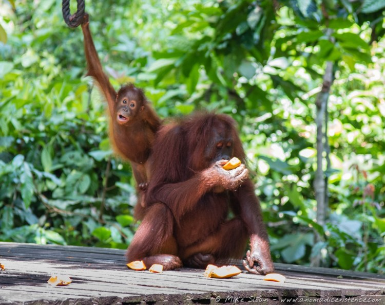 We were incredibly lucky to see both a mother and her child at the feeding platform - bub was too cute for words!
