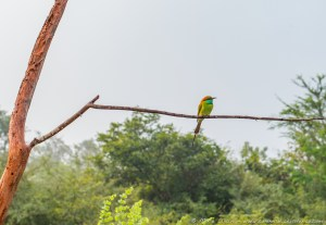 Green Bee Eater, Udawalawe National Park, Wildlife Safari, Sri Lanka, Ceylon