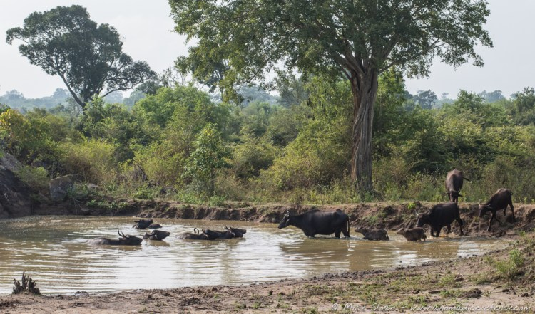 A small herd of water buffalo escaping the heat of the day.