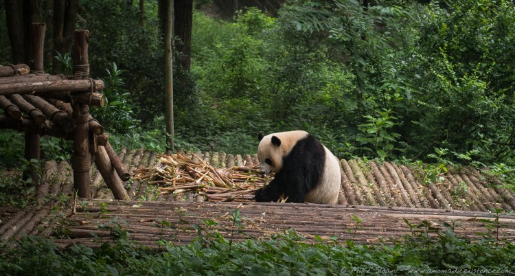 The first panda we came across, chomping away at his breakfast!