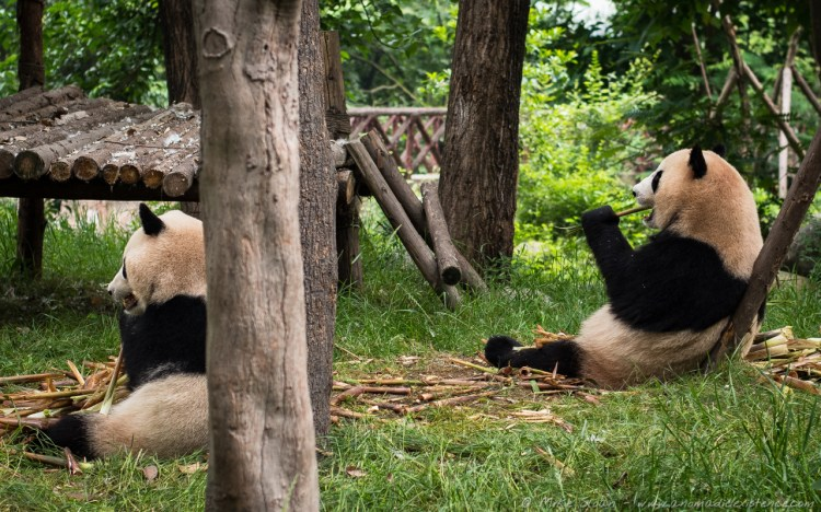 These two are twin sisters, chomping their bamboo in unison - too cute!
