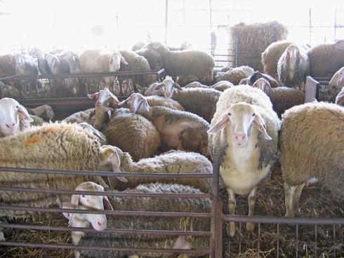 כבשים בצפיפות גדולה, כזו שבקושי מאפשרת להם להתהלך בחופשיות.