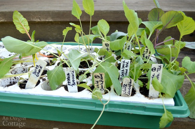 6-wk leggy cole crop seedlings
