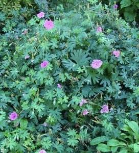 No Fail Perennials?