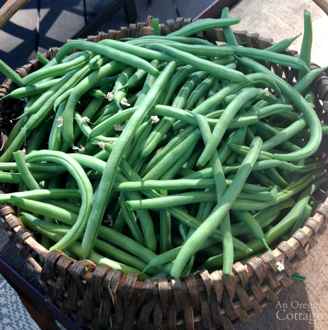 Basket of freshly harvested pole green beans