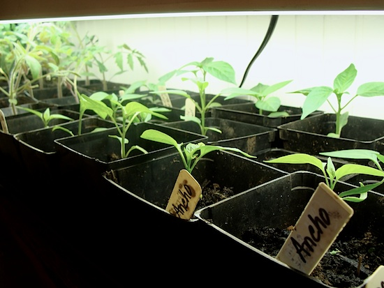pepper seedlings 4-2-13