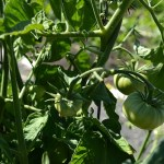 Tomato Plants Update {TGP}