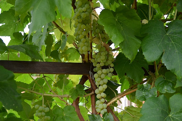 Clusters of Green Himrod Grapes::An Oregon Cottage