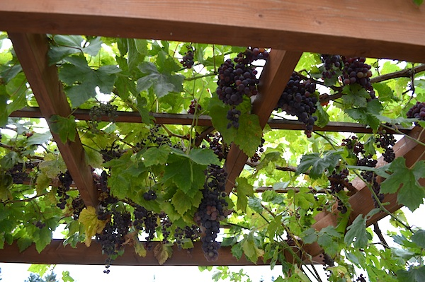 Red Grapes on Arbor::An Oregon Cottage